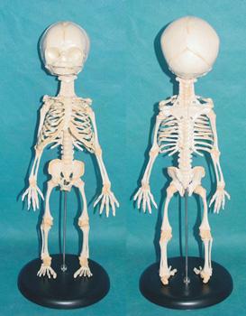盆腔骨骼结构图