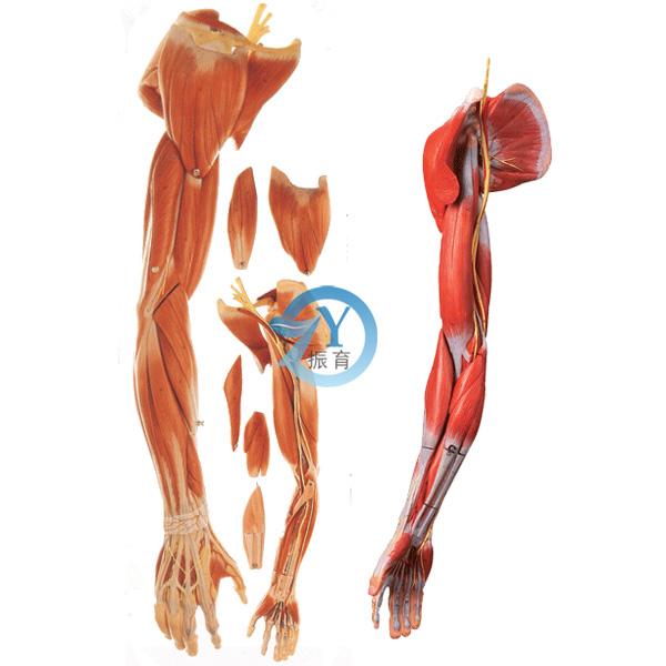 臂丛神经系统结构图