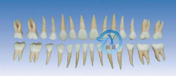 zy-kq055 [产品价格]:300 [产品货号]: [所属分类]:健康牙齿模型