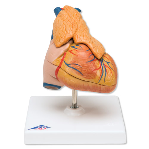 这款心脏模型精细地展示心脏各解剖结构