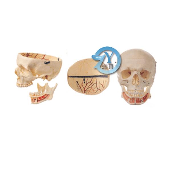 可分解成3个部件, 由颅顶、颅底和下颌骨等23块颅骨组成。显示脑颅骨、面颅骨和颅的整体观形态结构。颅顶和颅底的硬脑膜窦和动脉、静脉用彩色标志。共显示106个部位 尺寸:自然大,高17cm,宽13cm,深23.5cm 材质:进口PVC材料、进口油漆