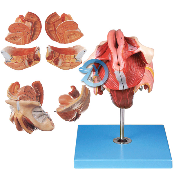 女性生殖器官结构模型