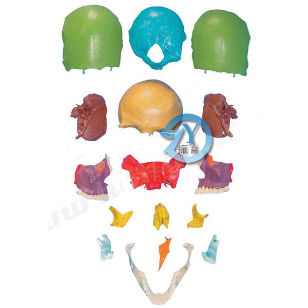 显示脑颅骨和面颅骨的形态结构特点